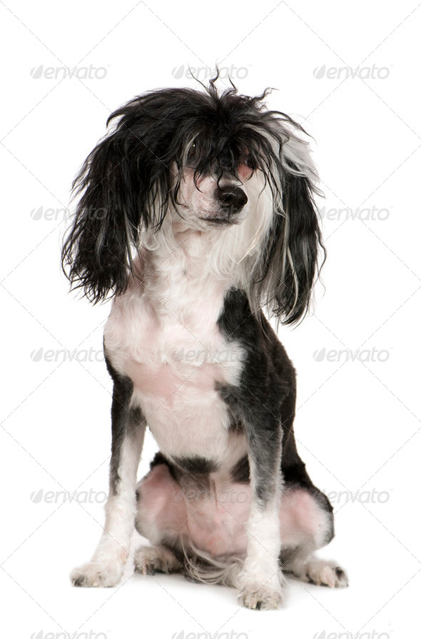 Chinese Crested Dog - Powderpuff (4 years) - Stock Photo - Images