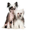 Chinese Crested Dog - Powderpuff