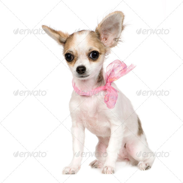 chihuahua (18 weeks) - Stock Photo - Images