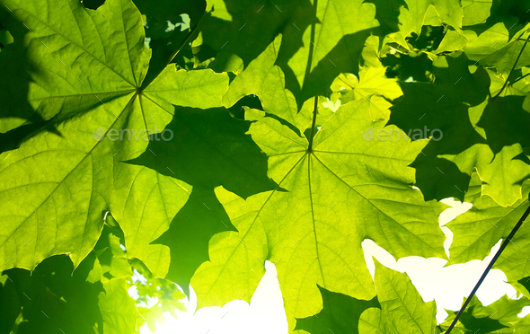Fresh green maple foliage illuminated by bright sunlight - Stock Photo - Images
