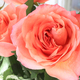 Beautiful bouquet of delicate roses - PhotoDune Item for Sale