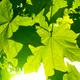 Fresh green maple foliage illuminated by bright sunlight - PhotoDune Item for Sale