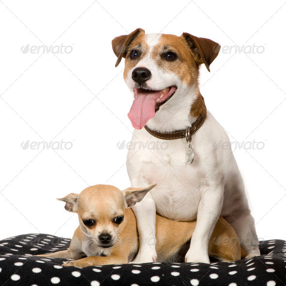 chihuahua (11 months) and a jack russel (4 years) - Stock Photo - Images