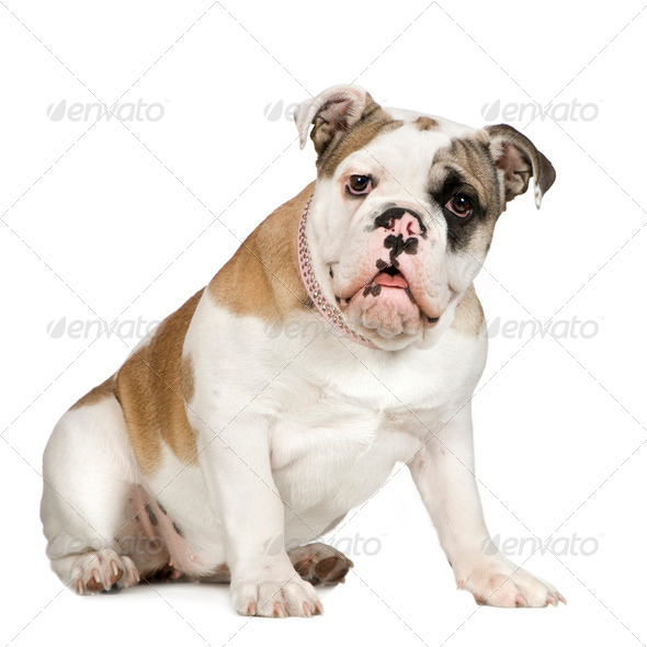 english Bulldog (5 months) - Stock Photo - Images