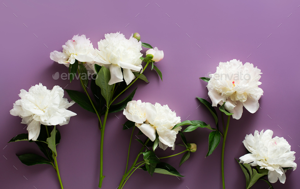 Beautiful white peonies on a dark purple background - Stock Photo - Images