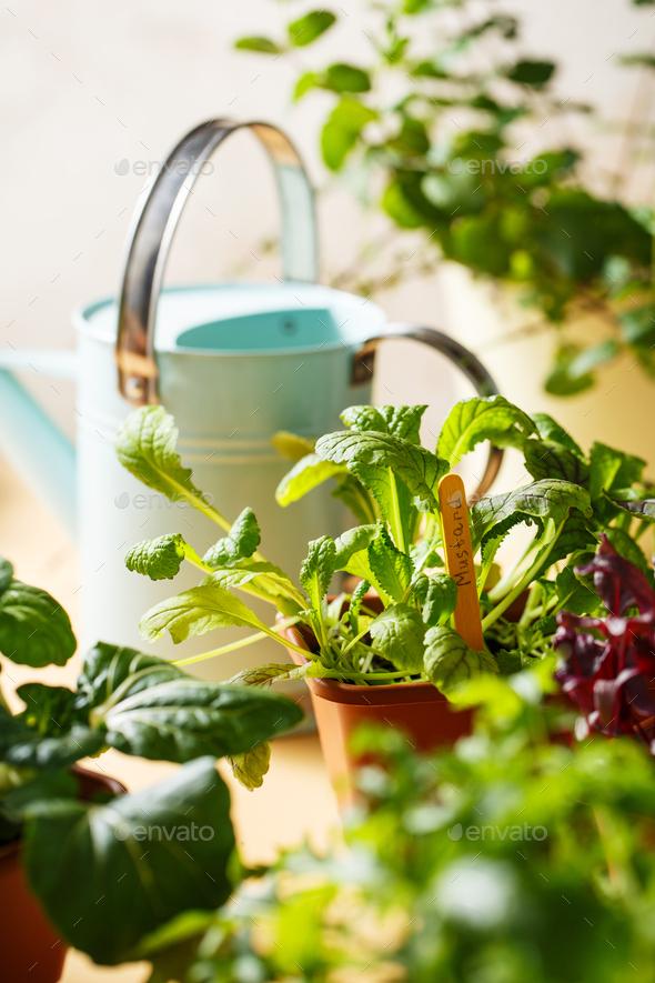 Home grown organic herbs, mustard, beet, baby pak choi - Stock Photo - Images