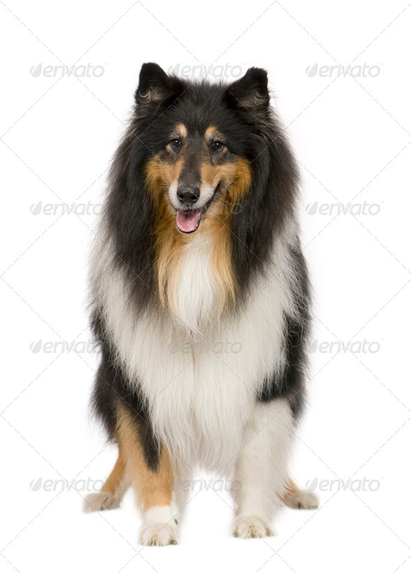 Rough Collie (9 years) - Stock Photo - Images