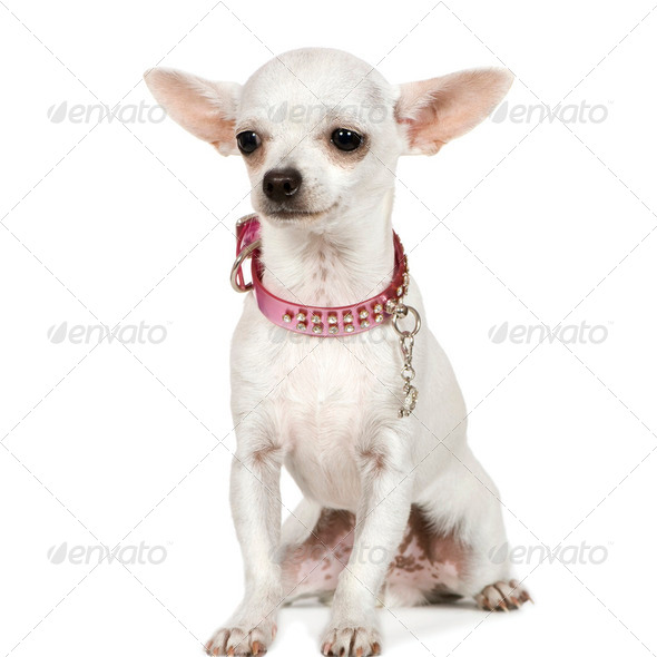 chihuahua (6 months) - Stock Photo - Images