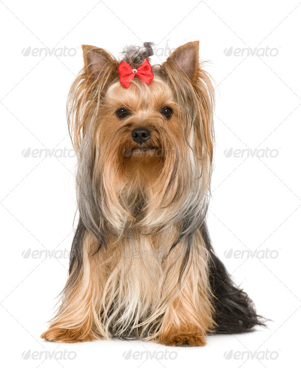 Yorkshire Terrier (15 months) - Stock Photo - Images
