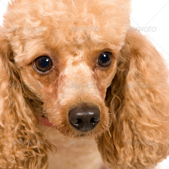 Poodle (3 years) - Stock Photo - Images