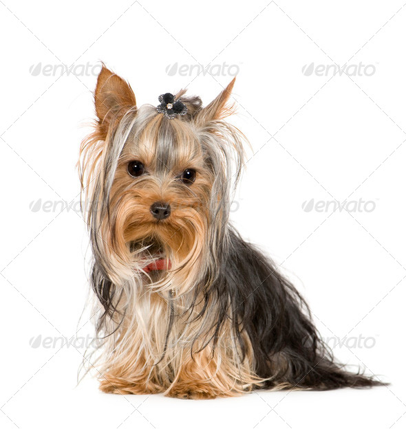 Yorkshire Terrier (10 months) - Stock Photo - Images