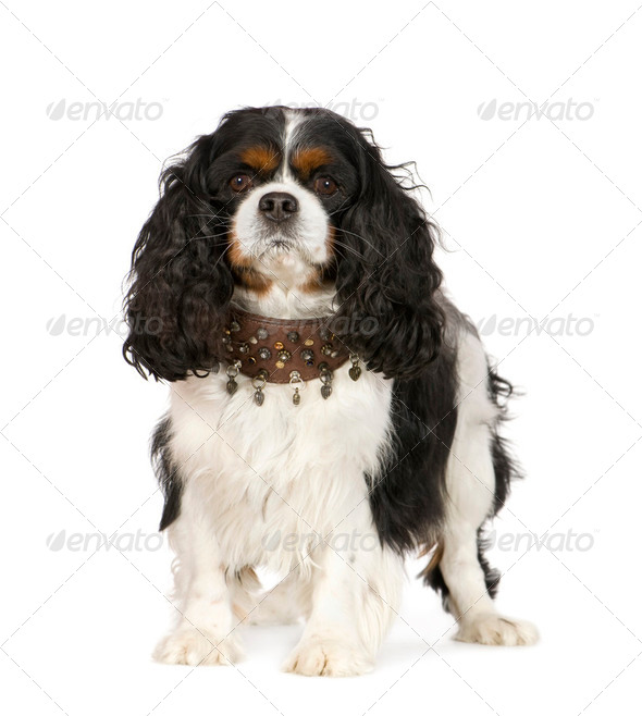 Cavalier King Charles Spaniel (6 years) - Stock Photo - Images