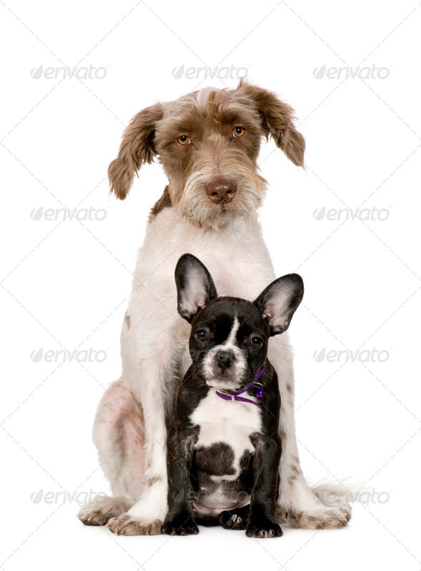Bastard (8 months) and a french bulldog (4 months) - Stock Photo - Images
