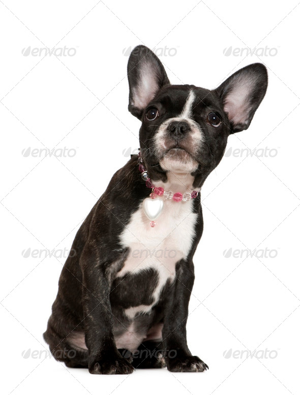 French Bulldog (4 months) - Stock Photo - Images