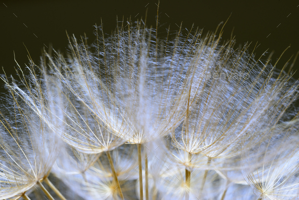 Close up of winged seeds of dandelion head plant - Stock Photo - Images