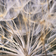 Close up of winged seeds of dandelion head plant - PhotoDune Item for Sale