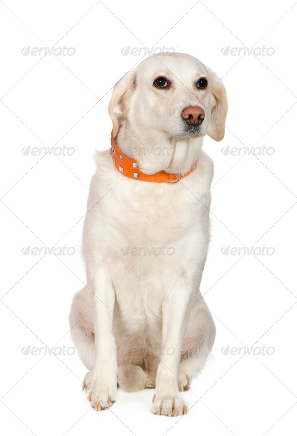 Labrador (6 years) - Stock Photo - Images