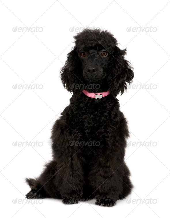 Poodle (6 months) - Stock Photo - Images