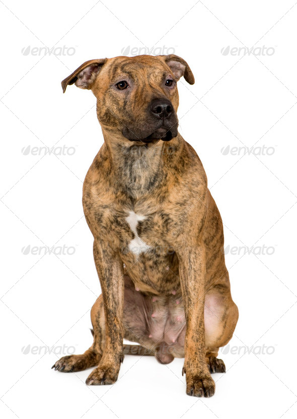 American Staffordshire terrier (9 months) - Stock Photo - Images