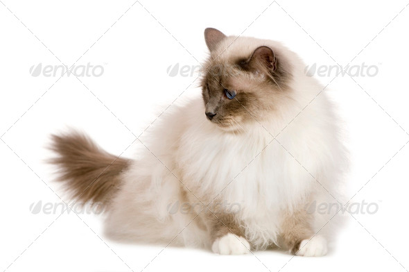 Birman (1 year) - Stock Photo - Images