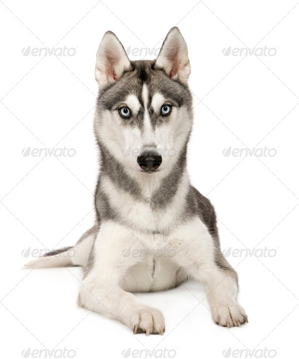 Alaskan Husky () - Stock Photo - Images