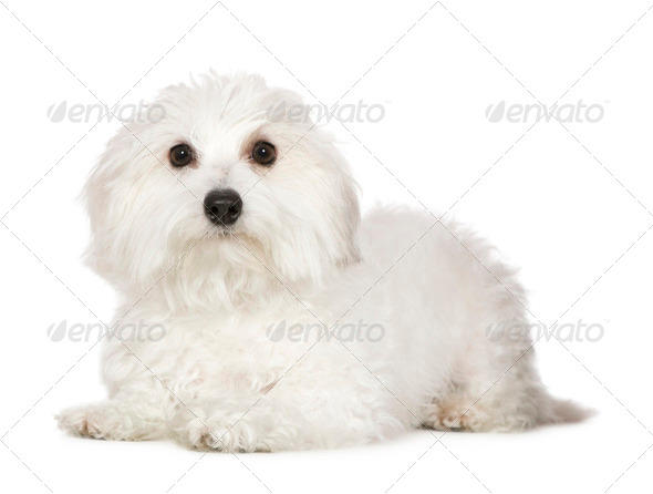 Coton de Tulear (1 year) - Stock Photo - Images