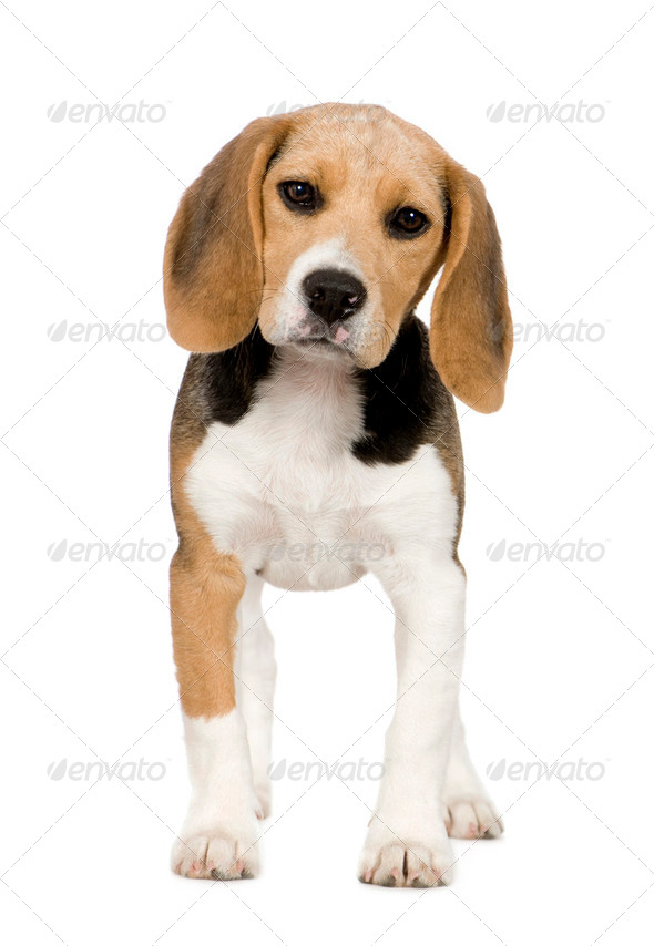 Beagle (3 months) - Stock Photo - Images