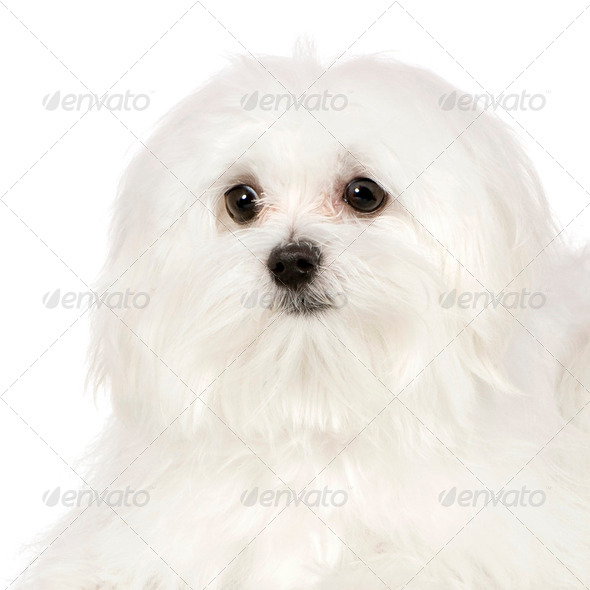 maltese dog (7 months) - Stock Photo - Images