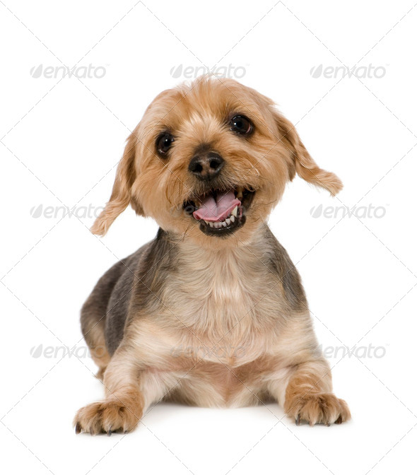 Yorkshire Terrier (10 years) - Stock Photo - Images