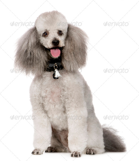 Poodle (2 years) - Stock Photo - Images