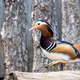 Mandarin duck portrait - PhotoDune Item for Sale