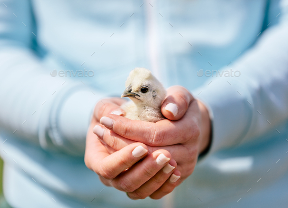 Baby bird hold in woman hands - Stock Photo - Images