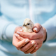 Baby bird hold in woman hands - PhotoDune Item for Sale