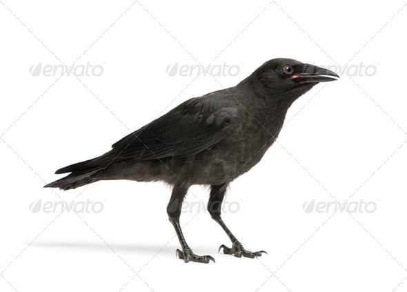 Young Carrion Crow - Corvus corone (3 months) - Stock Photo - Images