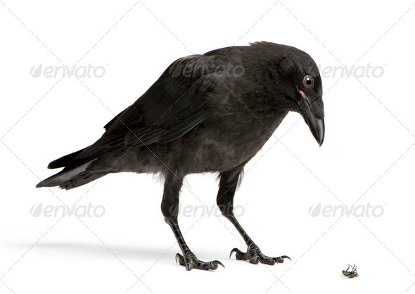 Young Carrion Crow Looking down at a dead fly - Stock Photo - Images