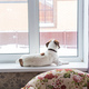 Jack Russell Terrier lying at home. Pet and household concept. - PhotoDune Item for Sale
