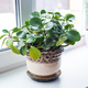 Beautiful green plant in ceramic pot standing on window sill. Houseplants and interior home. - PhotoDune Item for Sale