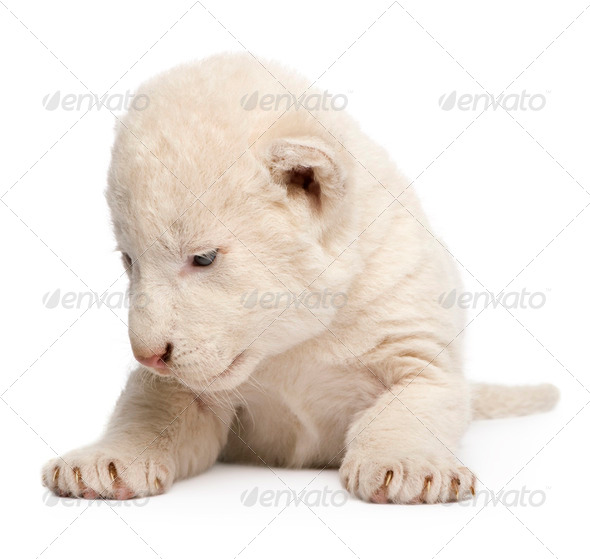 White Lion Cub (1 week) - Stock Photo - Images