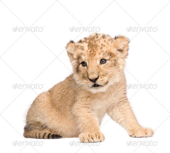 Lion Cub (6 weeks) - Stock Photo - Images