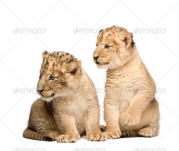 Lion Cub (6 weeks) - Stock Photo - Images