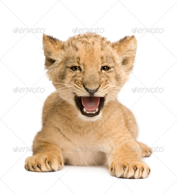 Lion Cub (8 weeks) - Stock Photo - Images