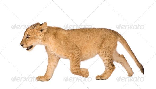 Lion Cub (4 months) - Stock Photo - Images