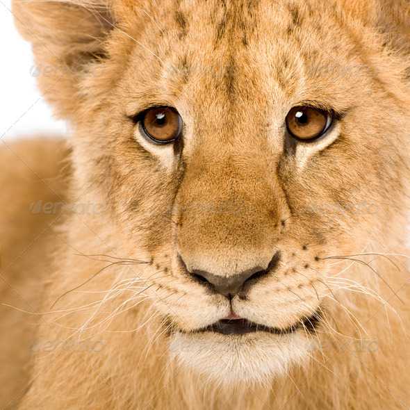 Lion Cub (4 months) - Stock Photo - Images