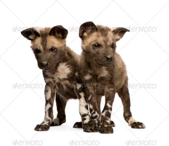 African wild dog cub (9 weeks) - Lycaon pictus - Stock Photo - Images