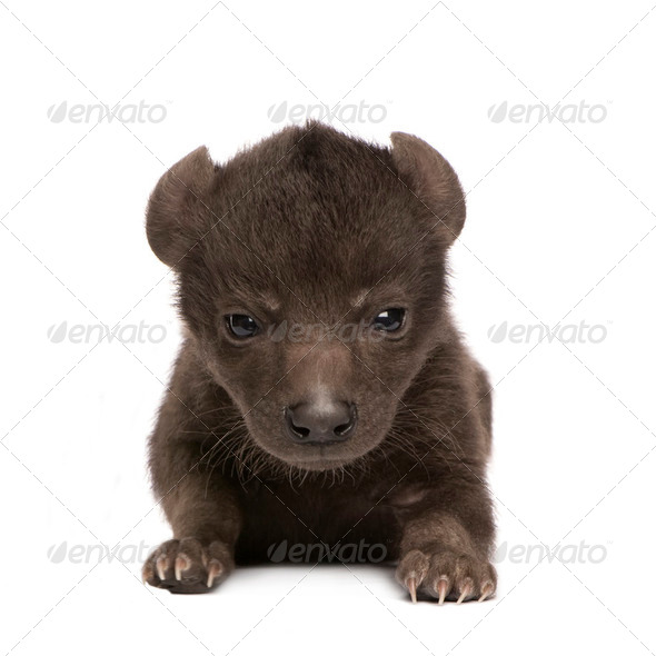 Hyena cub (6 days) - Stock Photo - Images