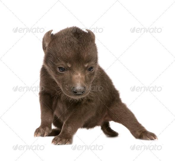 Hyena cub (6 days) - Stock Photo - Images