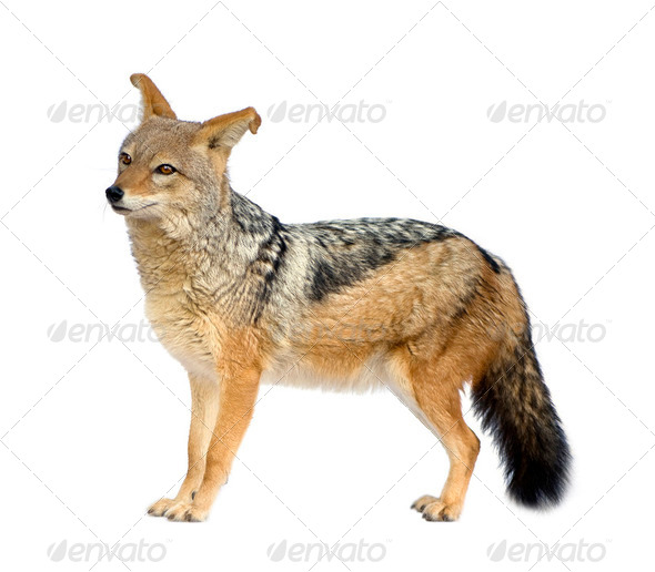 black-backed jackal - Canis mesomelas - Stock Photo - Images