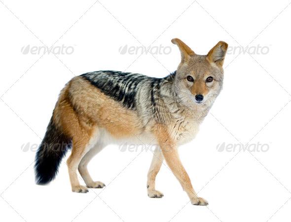 black-backed jackal () - Canis mesomelas - Stock Photo - Images