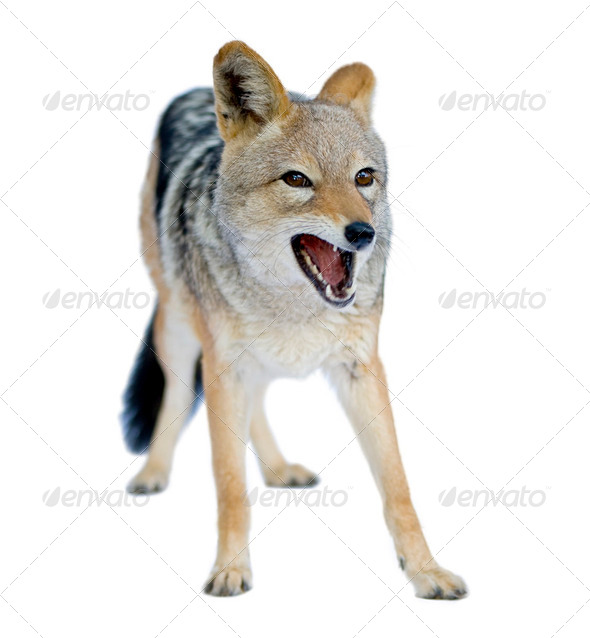 black-backed jackal () - Canis mesomelas - Stock Photo - Images