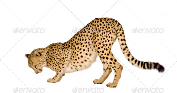 Cheetah - Acinonyx jubatus - Stock Photo - Images